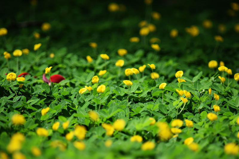 flowers-green-grass-yellow-flower-leaf-1431721-pxhere.com.jpg